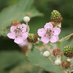 blackberries3